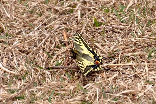2011年4月の蝶_e0194952_17113959.jpg