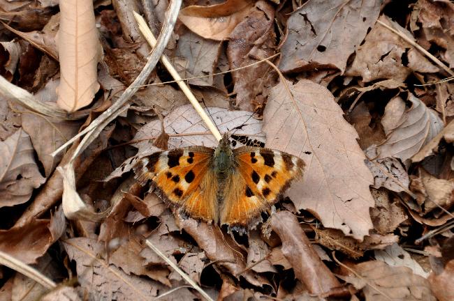 2011年4月の蝶_e0194952_1793836.jpg
