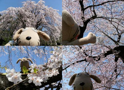わんこの春爛漫_c0158573_13495926.jpg