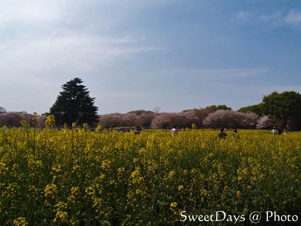 菜の花畑でピクニック!_e0046675_22141336.jpg