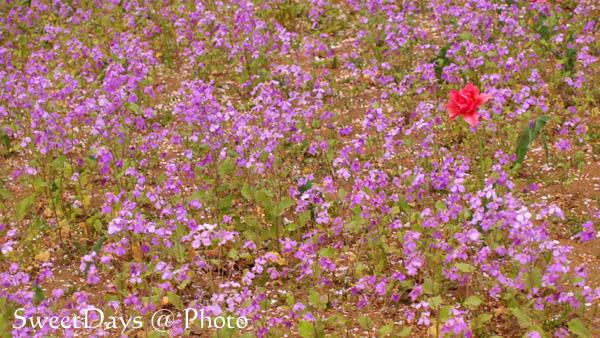 菜の花畑でピクニック!_e0046675_22142694.jpg