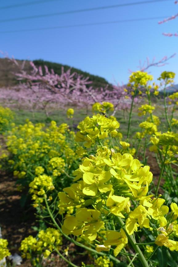 これが山梨の花見?_a0188798_17432465.jpg
