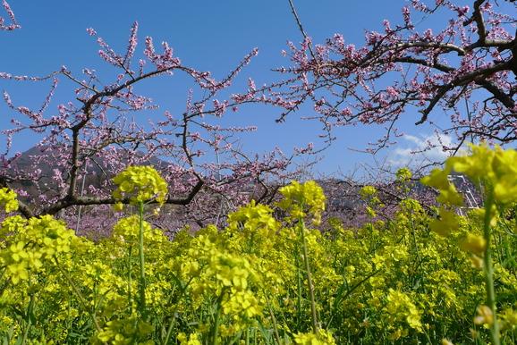 これが山梨の花見?_a0188798_17434641.jpg