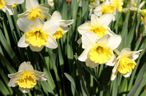 アトリエの庭の毎年の水仙の花_e0054299_159127.jpg