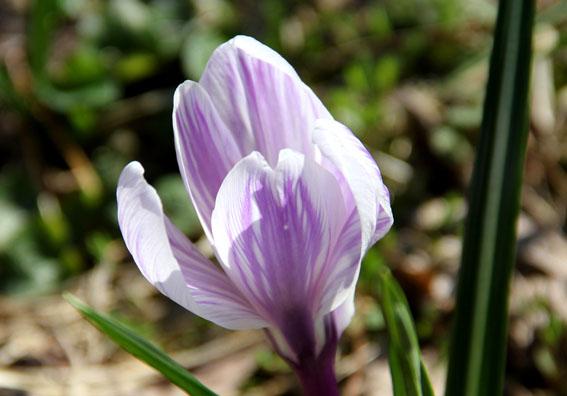 アトリエの庭の毎年の水仙の花_e0054299_1592432.jpg