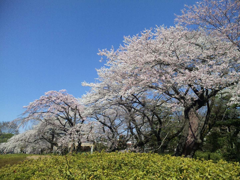 桜_c0183104_1341192.jpg