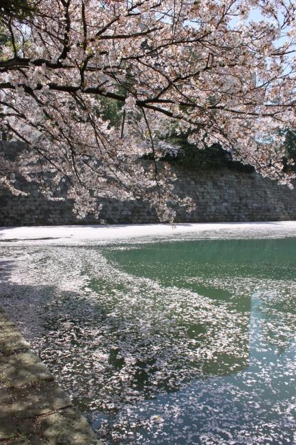 【江のゆかり福井県】春の川 ただし、お堀ですけどw_f0229508_1137138.jpg