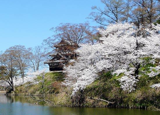 高田公園の桜(新潟県上越市)_d0066822_5523281.jpg