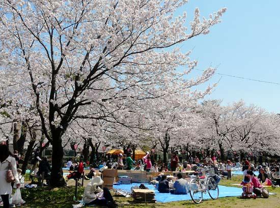 高田公園の桜(新潟県上越市)_d0066822_5543471.jpg