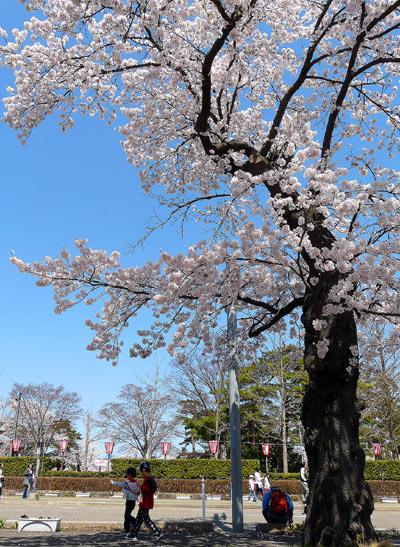 高田公園の桜(新潟県上越市)_d0066822_556143.jpg