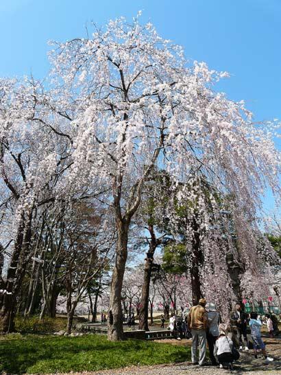 高田公園の桜(新潟県上越市)_d0066822_5562288.jpg