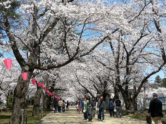 高田公園の桜(新潟県上越市)_d0066822_5572054.jpg