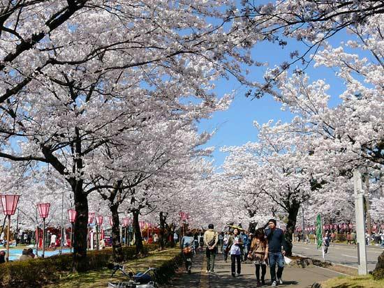 高田公園の桜(新潟県上越市)_d0066822_672512.jpg