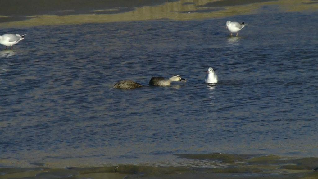 足で水底を揺すって餌を捕る ユリカモメ (動画追加)_e0088233_23282419.jpg