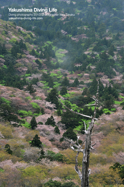 山桜満開!!_b0186442_2138172.jpg