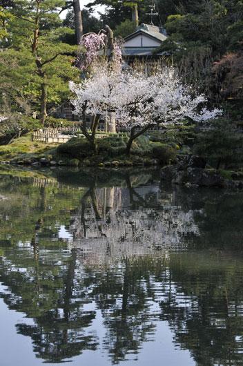 兼六園の桜(1)_c0093046_7242943.jpg