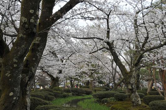 兼六園の桜(1)_c0093046_7245234.jpg