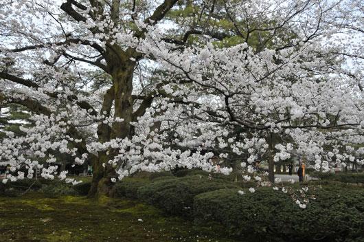 兼六園の桜(1)_c0093046_7251052.jpg