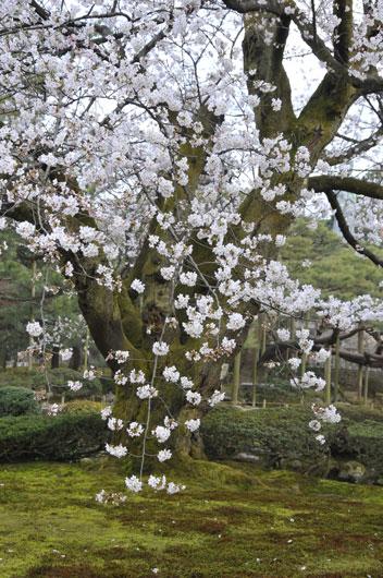 兼六園の桜(1)_c0093046_7252664.jpg