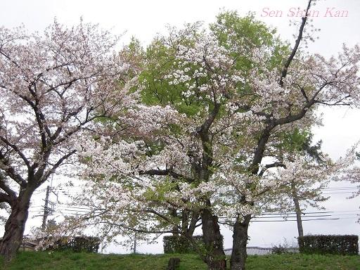 賀茂川の桜  2011年4月_a0164068_23125940.jpg