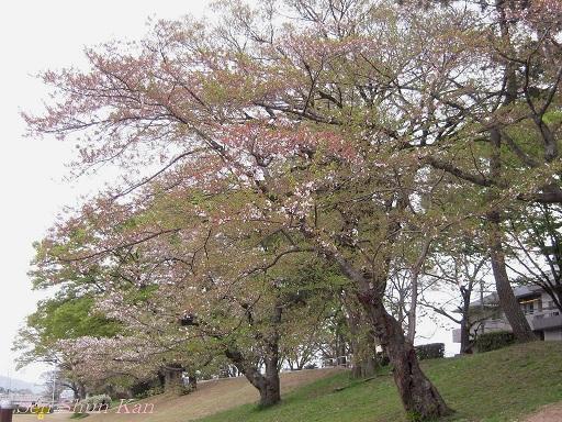 賀茂川の桜  2011年4月_a0164068_23131596.jpg