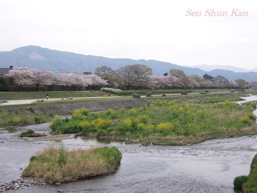 賀茂川の桜  2011年4月_a0164068_23163788.jpg