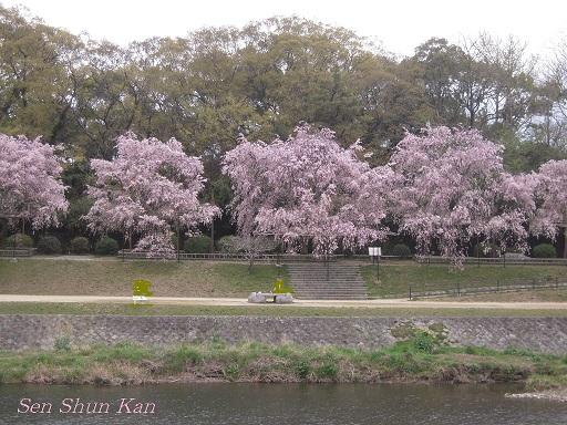 賀茂川の桜  2011年4月_a0164068_23182131.jpg
