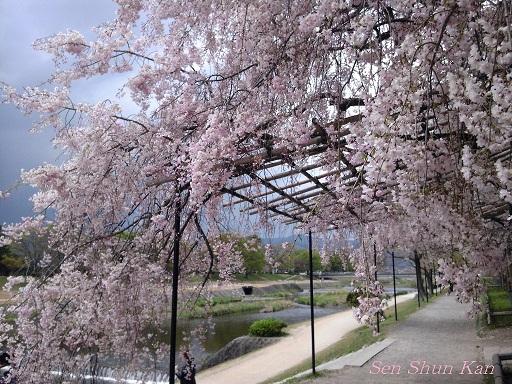 賀茂川の桜  2011年4月_a0164068_23184684.jpg