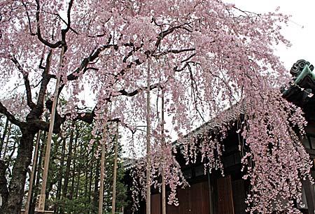 桜 和菓子 椿_c0201876_19282141.jpg