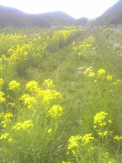 菜の花畑、終了_a0138985_2291224.jpg