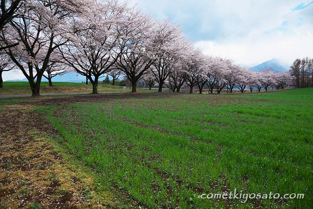 新田の大糸桜・蕪の桜並木_b0179231_2243373.jpg