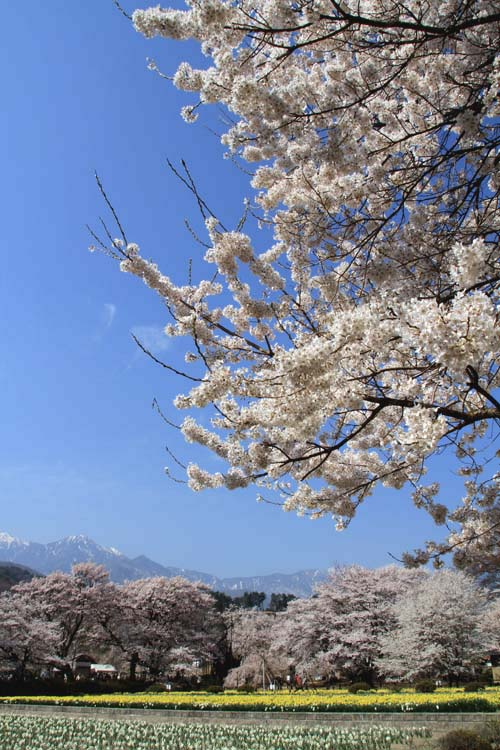桜の名所巡り_b0032444_95332100.jpg