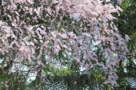 兼六園の桜(2)_c0093046_73469.jpg