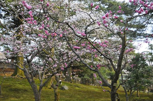 兼六園の桜(2)_c0093046_74871.jpg
