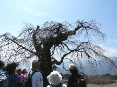 富士見の古木桜_f0019247_17124864.jpg