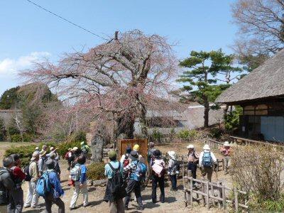 富士見の古木桜_f0019247_17171631.jpg