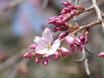 富士見の古木桜_f0019247_17173863.jpg