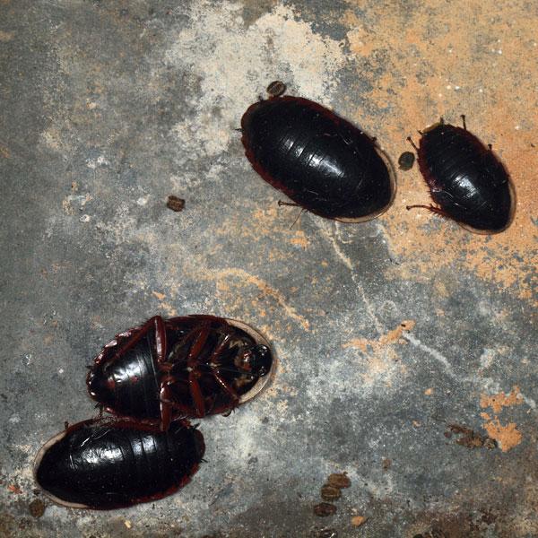 サツマゴキブリ、クロゴキブリ幼虫、ウスキヒラタゴキブリ?幼虫