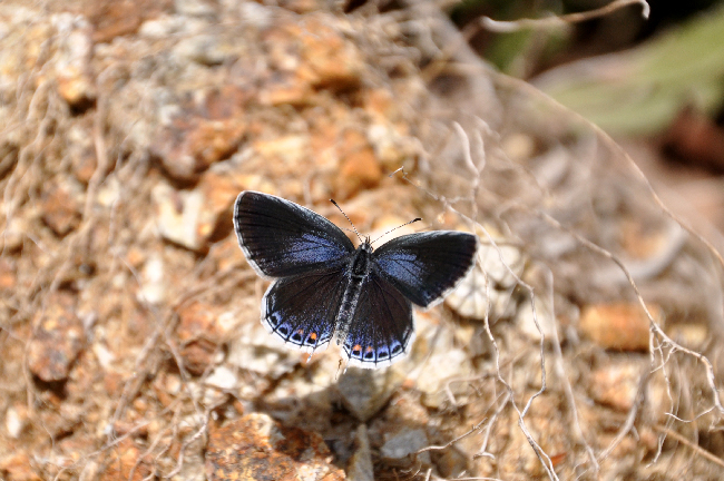 2011年4月の蝶_e0194952_21155981.jpg