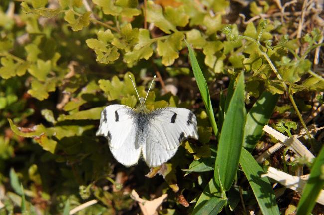 2011年4月の蝶_e0194952_759676.jpg
