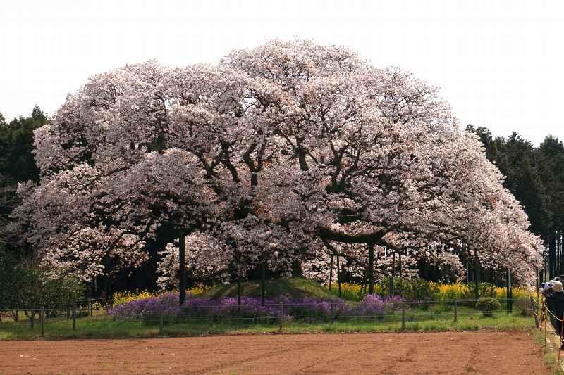 吉高の大桜_f0044056_641177.jpg