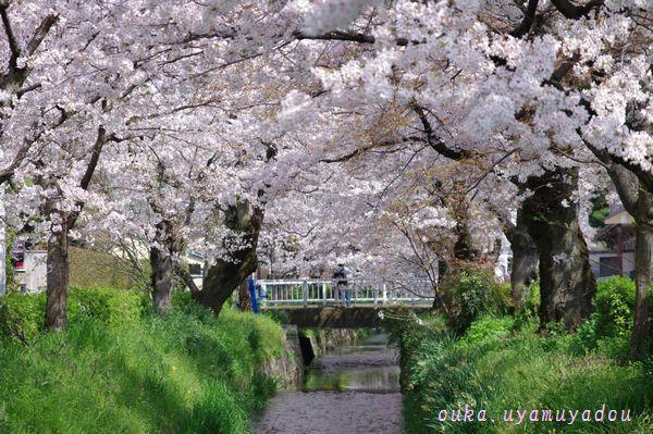 心の桜 疏水路_a0157263_22454586.jpg