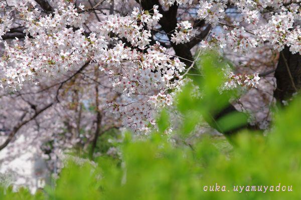 心の桜 疏水路_a0157263_22455764.jpg