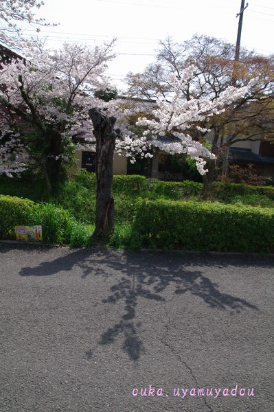 心の桜 疏水路_a0157263_22471240.jpg