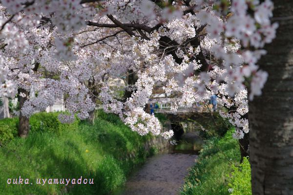 心の桜 疏水路_a0157263_2251502.jpg