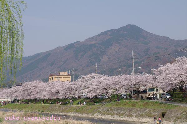 心の桜 疏水路_a0157263_2252259.jpg