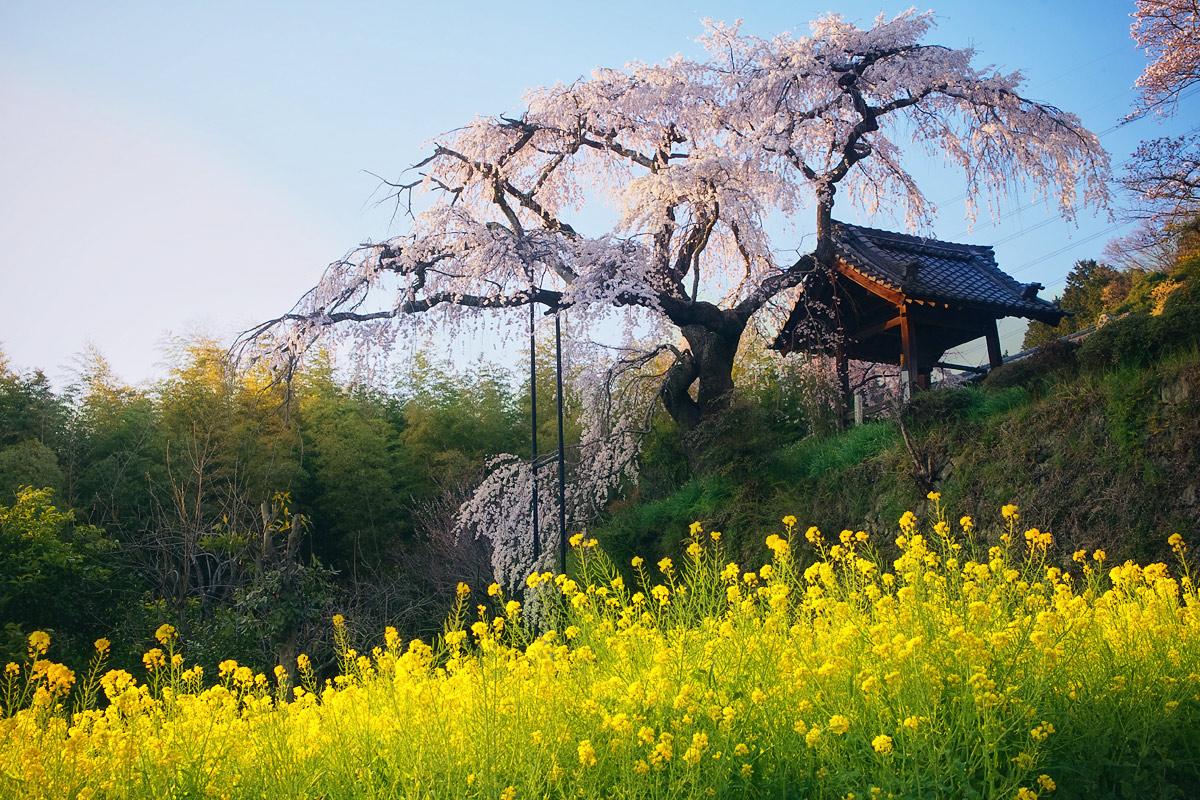 桜 2011 京都 <地蔵禅院>_f0021869_4271574.jpg