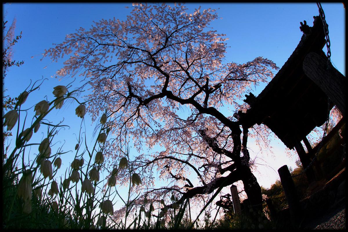 桜 2011 京都 <地蔵禅院>_f0021869_4283069.jpg