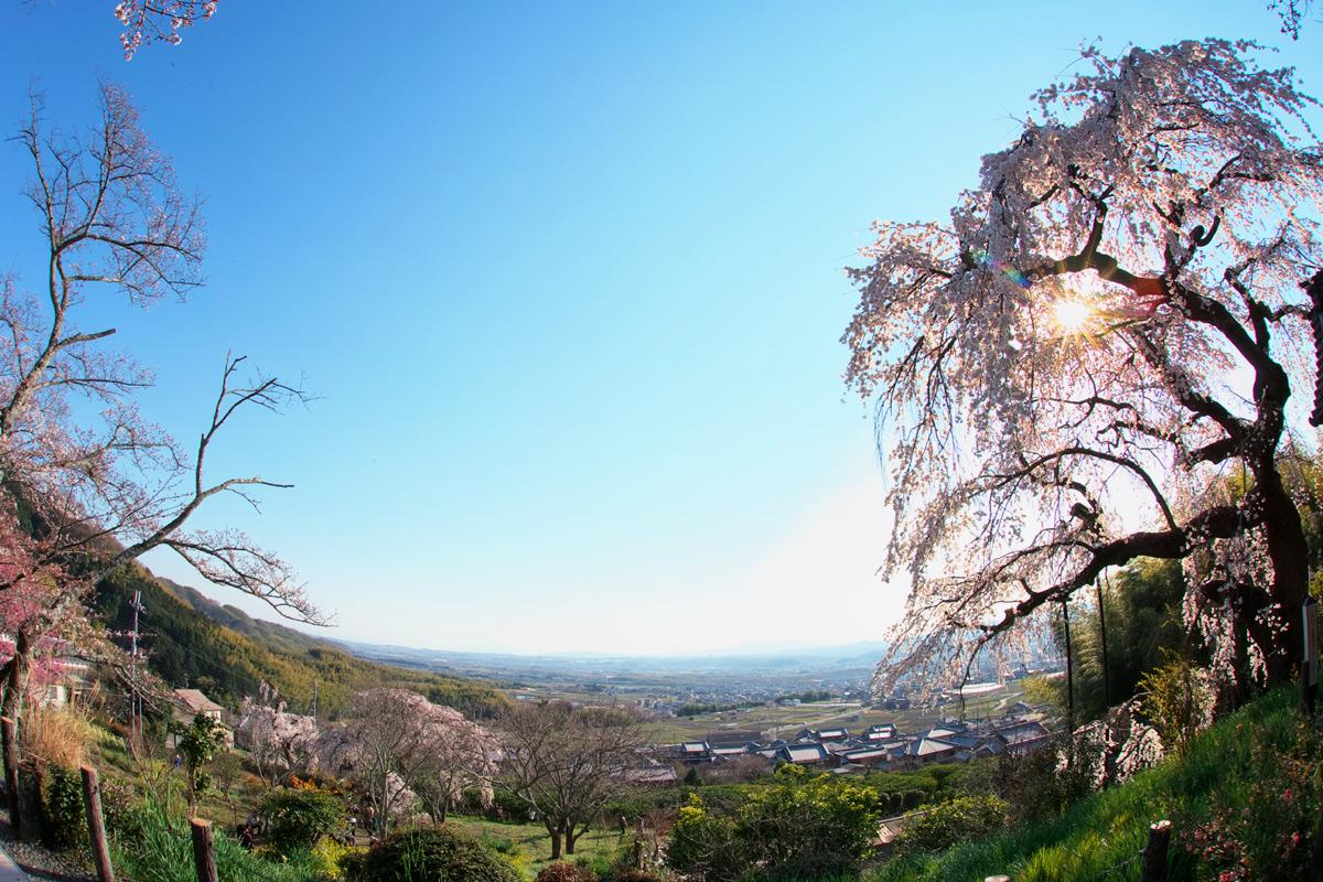 桜 2011 京都 <地蔵禅院>_f0021869_4285610.jpg