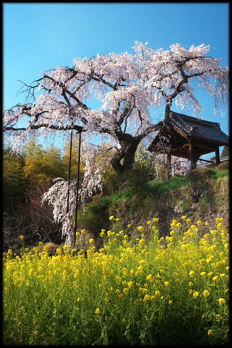 桜 2011 京都 <地蔵禅院>_f0021869_430425.jpg